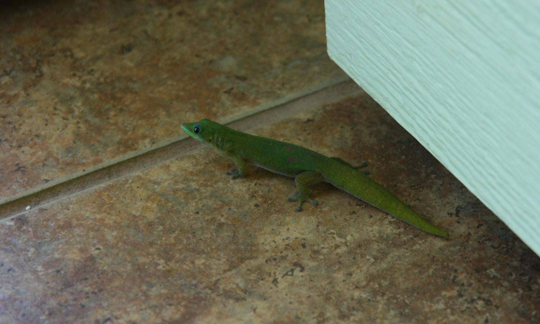 Maui-Geckos