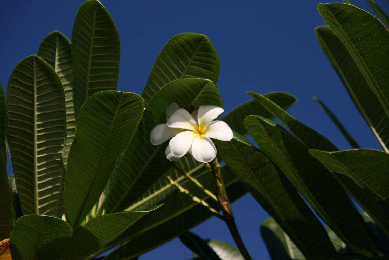 Maui-Plumeria