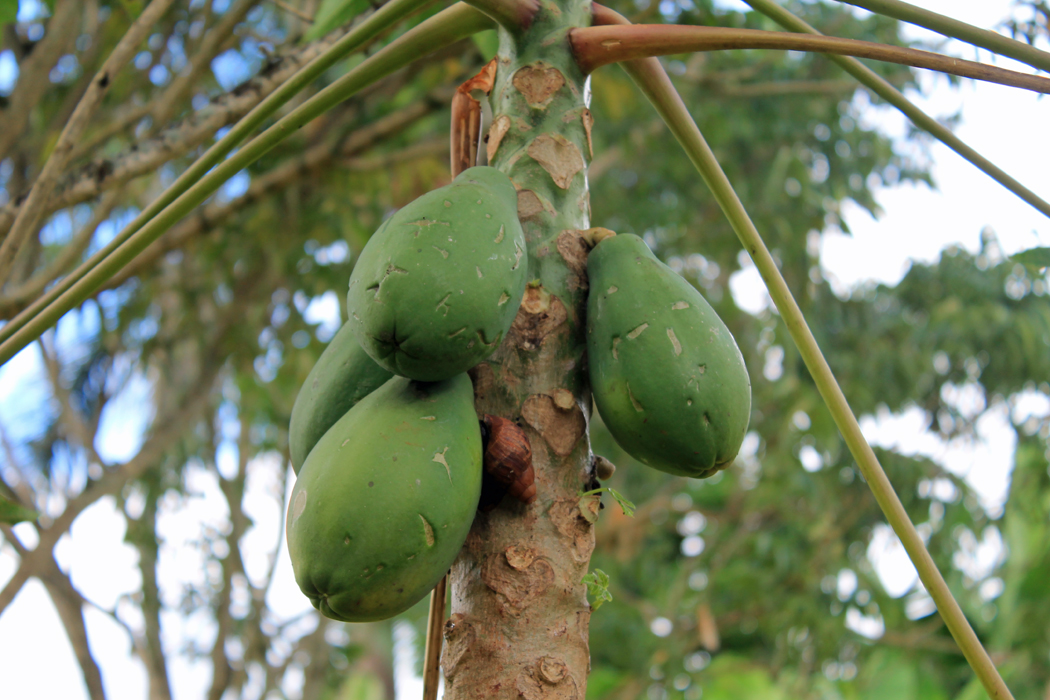 Papayabaum1
